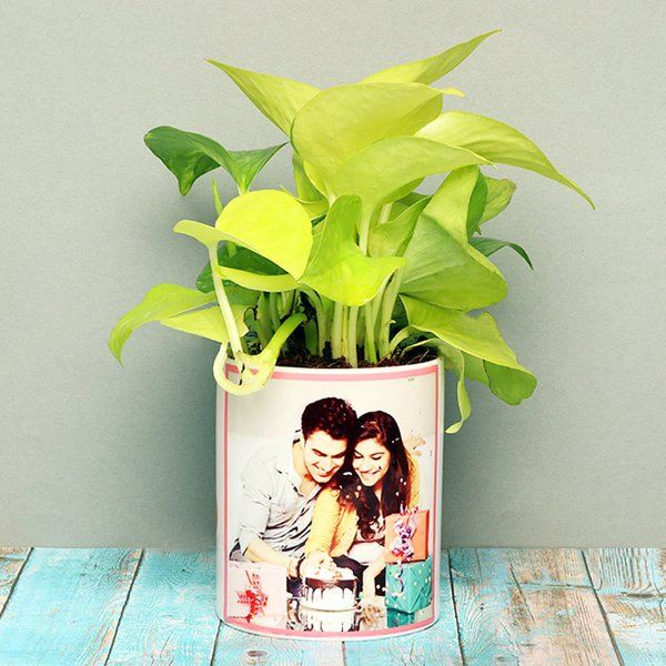 FlowerAura Charming Golden Money Plant Personalized Anniversary Gifts