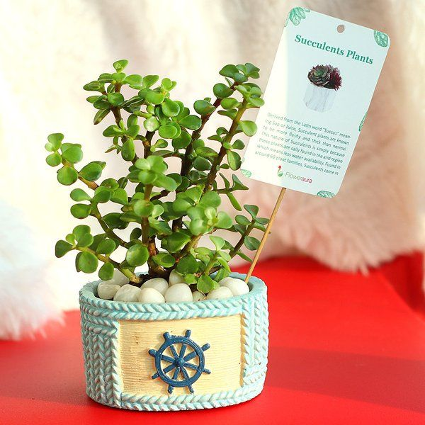 FlowerAura Fortuner Jade Plant Long Distance Relationship Gifts