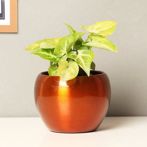 Syngonium Plant Air Purifying Indoor Plants India