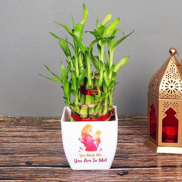 FlowerAura Good Fortune Bamboo Plant Sorry Gifts
