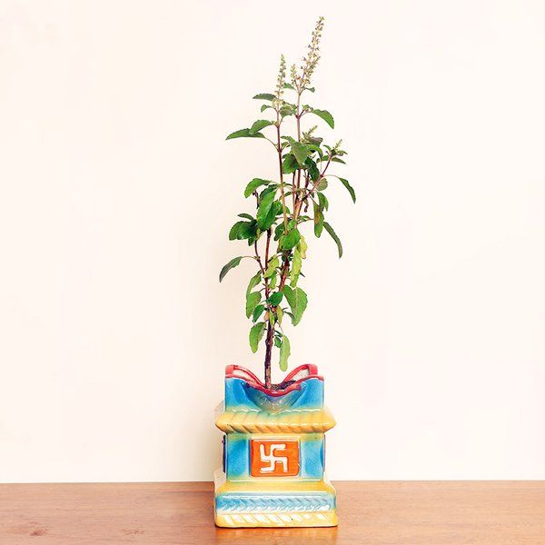 FlowerAura Holy Tulsi Plant Diwali Gifts For Friends