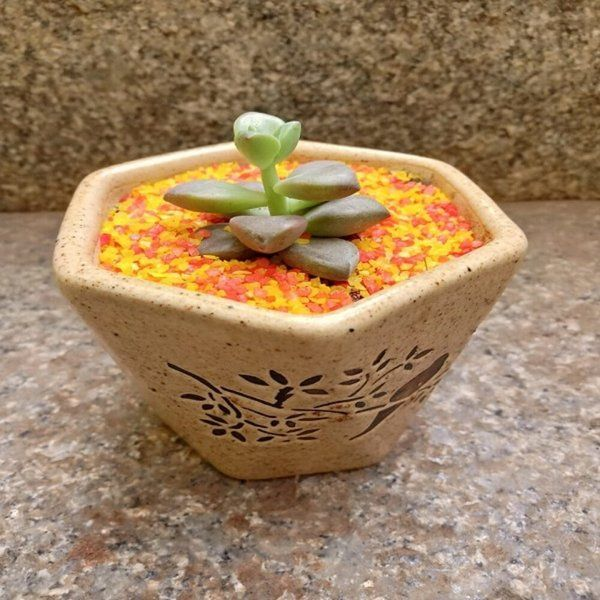 Small Hexagonal Succulent Air Purifying Indoor Plants