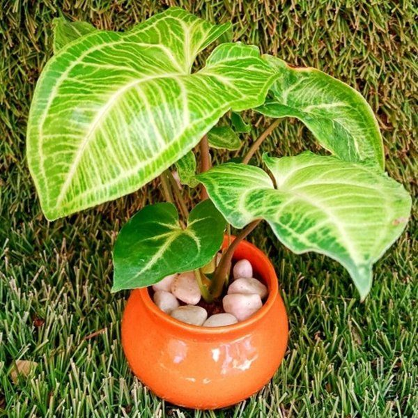 Tiger Shade Indoor Plants for Home