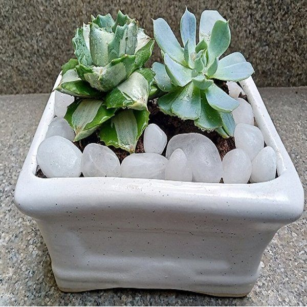Posh Garden Rectangle Tray 2 Succulent Succulent Plant
