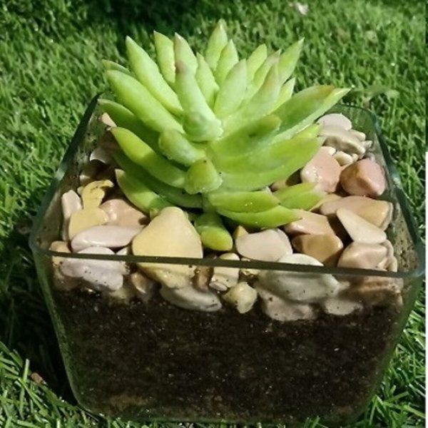 Small Square Succulent Plant Gifts
