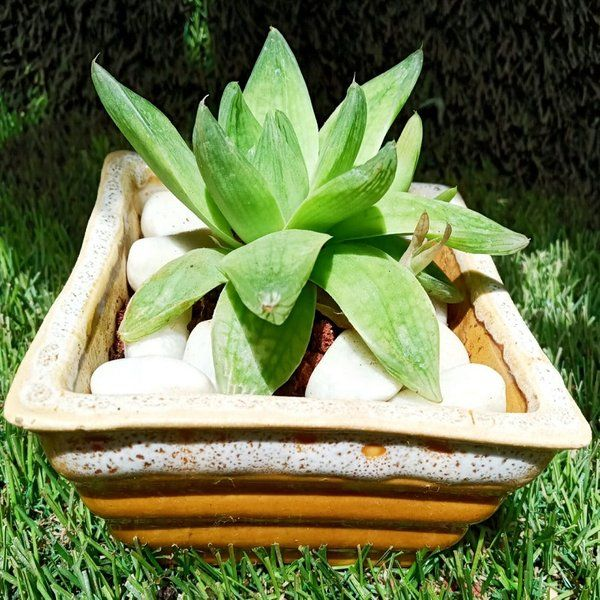 Square Succulent Plant Gifts