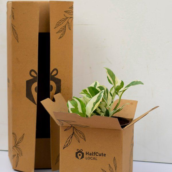 HalfCute Local Pothos Plant Gifts Under 400