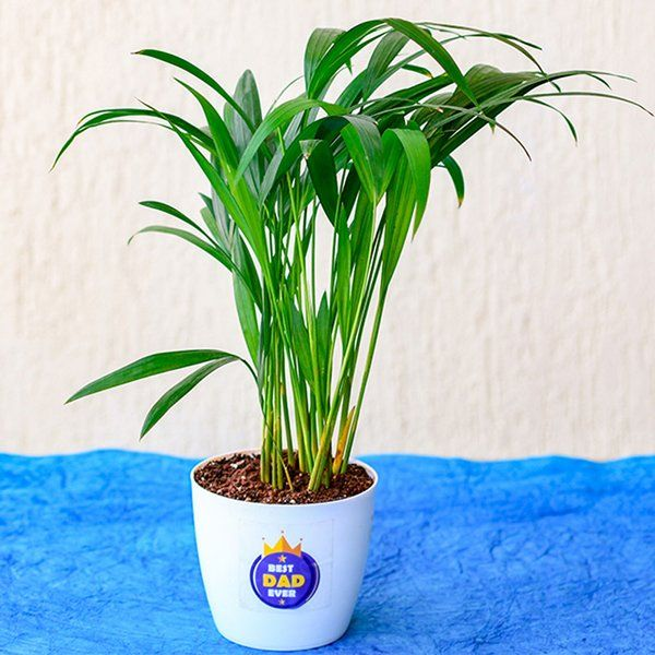nurserylive Best Indoor Areca Palm For Best Dad Ever Gifts For Dad