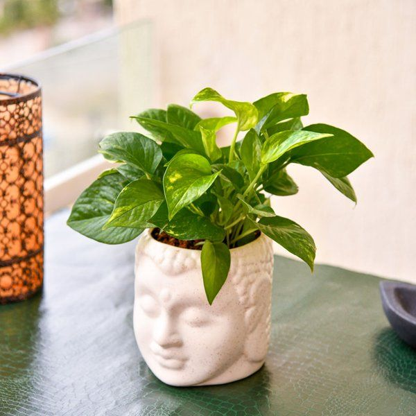 Magnificent Money Plant Luxury Housewarming Gifts for Friends