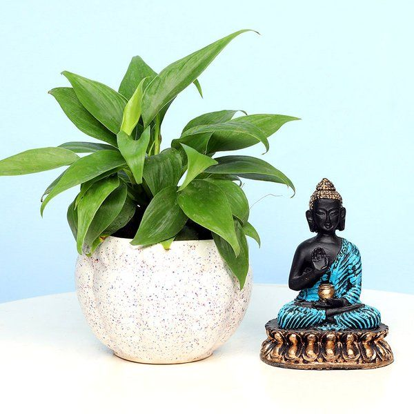 FlowerAura Buddha Philodendron Combo 70th Birthday Gift For Dad