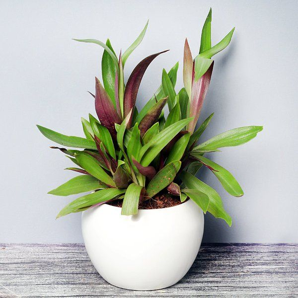 FlowerAura Dual Tone Rhoeo Plant 70th Birthday Gift For Dad
