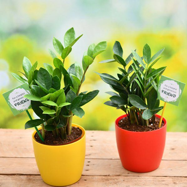 nurserylive Pack Of 2 ZZ Plants for Our Generous Friendship Birthday Gift For Younger Brother