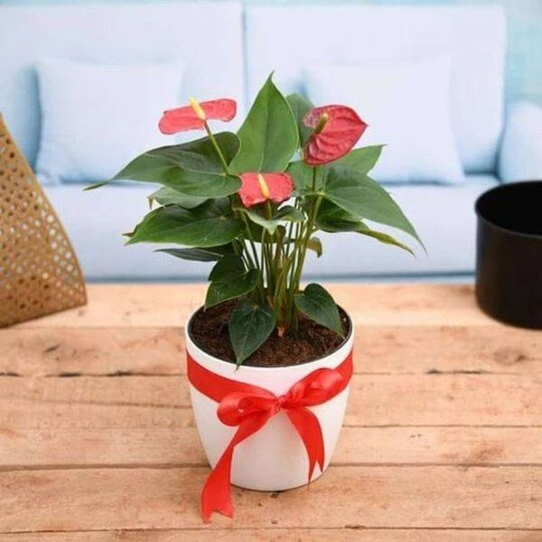 nurserylive Symbol of Endless Love Red Anthurium - Gift Plant Gift Ideas For Girls