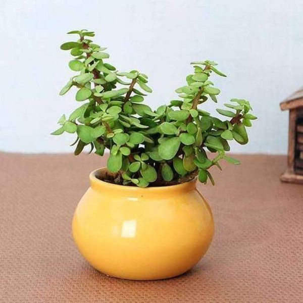 Engagement Gifts for Best Friend Male Jade Plant in Handi Pot
