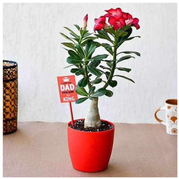 Nurserylive Attractive Adenium Bonsai for Amazing Father Gifts For 60 Year Old Man
