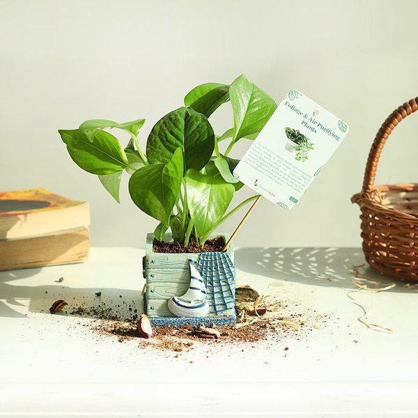FlowerAura Money Plant in Boat Vase 6th Month Anniversary Gifts