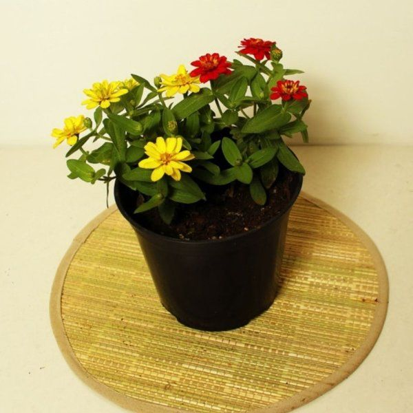 The Plant Store Zinnia Gifts For Men Under 300